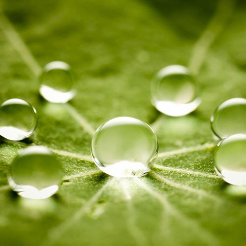 Close up of a leaf with 6 small water drops centered around a slightly bigger water drop in the center of the leaf.